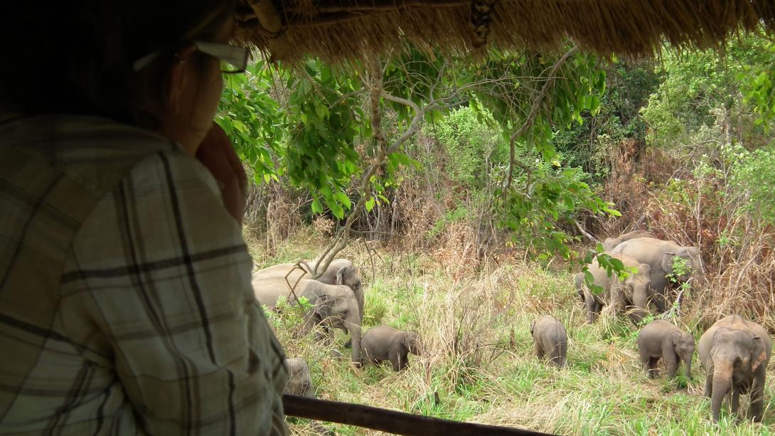 Volunteer observes an elephant herd from a Jeep in Sri Lanka.